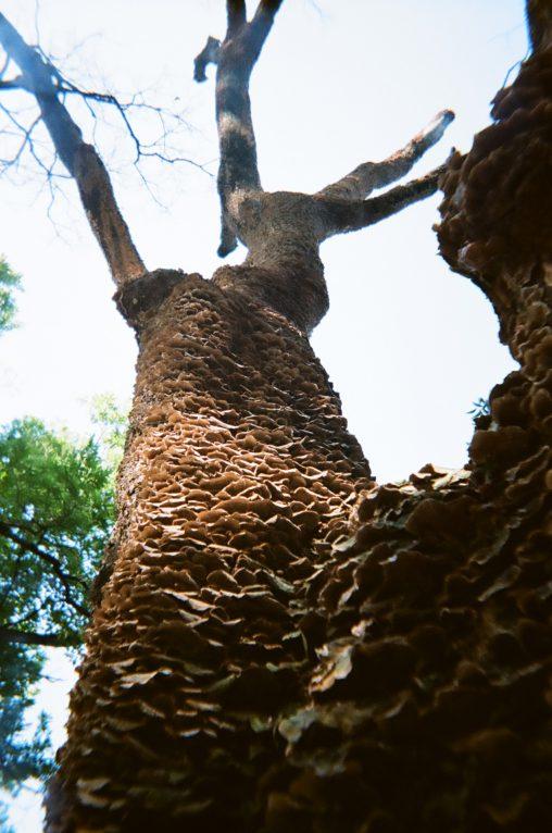 キノコだらけの木 – A tree with mushroom
