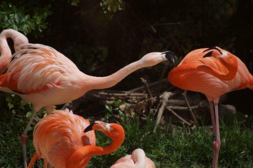 喧嘩するフラミンゴ – Flammingo