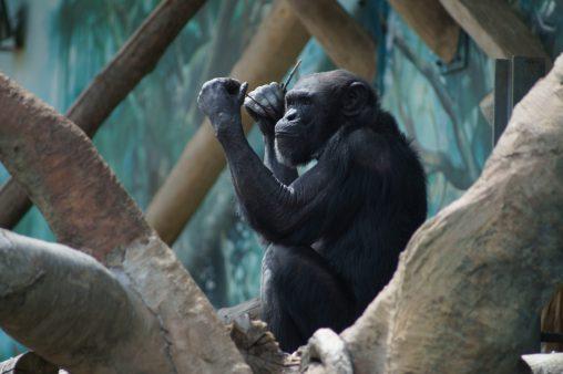 チンパンジー – Chimpanzee