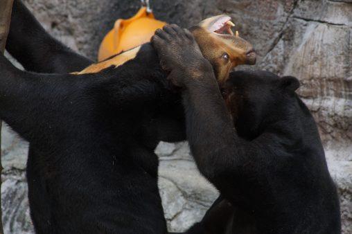 首を攻めるマレーグマ – Sun bear