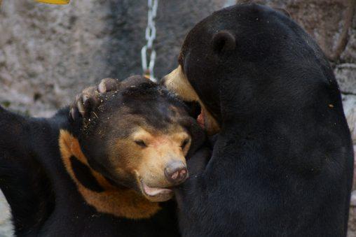 噛みつくマレーグマ – Sun bear