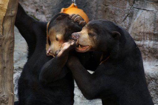 掴み合うマレーグマ – Sun bear