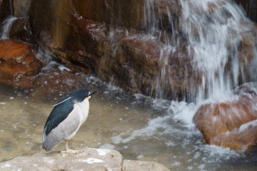 ゴイサギ – Black-crowned night heron