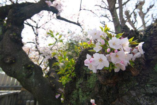ソメイヨシノ / Sakura (Prunus × yedoensis)