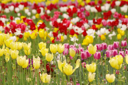 チューリップ – Tulip