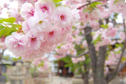 ヤエザクラ – Cherry blossom