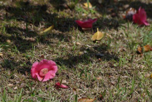 落ちた椿 – Fallen camellia flower