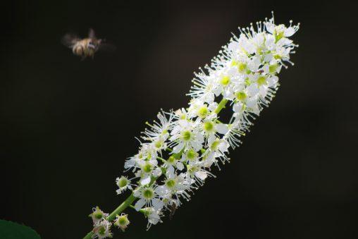 ウワミズザクラ – Prunus grayana