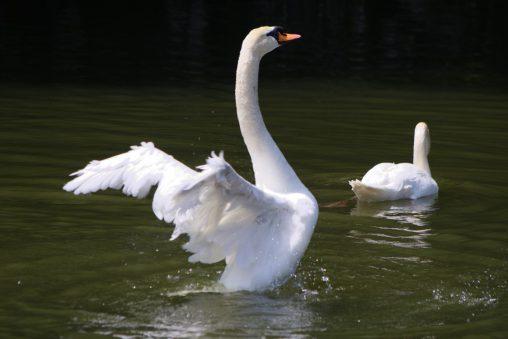 コブハクチョウ – Mute swan