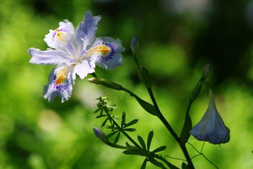 シャガ – Iris japonica