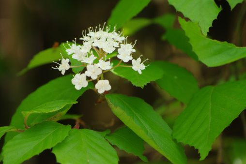 ミヤマガマズミ – Viburnum wrightii