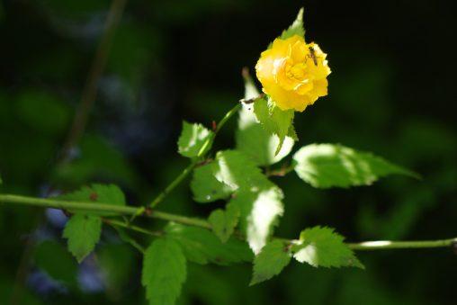 ヤエヤマブキ – Kerria japonica