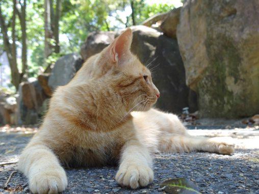 神社の猫 – Cat