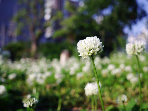 シロツメクサ – Dutch clover