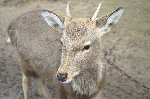 角が生えかけの鹿 – Sika deer