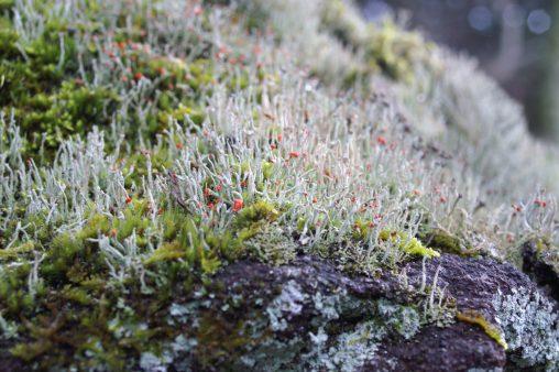 コアカミゴケ – Cladonia macilenta