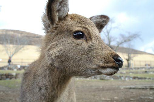 若草山の鹿 – Sika deer