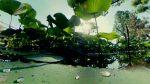 蓮の林 – Lotus forest