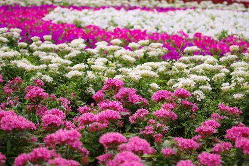 ペンタスの花壇 – Pentas bed