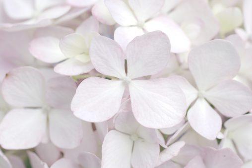 アジサイの萼 – Sepal of Hydrangea macrophylla