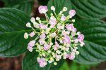 ウズアジサイ – Hydrangea macrophylla