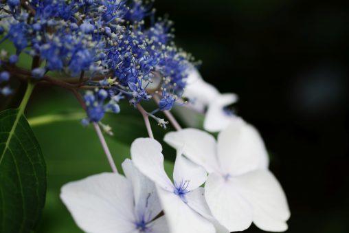 ガクアジサイ – Hydrangea macrophylla