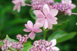 """にらみ合い (アジサイ「ダンスパーティ」 – Hydrangea macrophylla """"Dance Party"""")"""