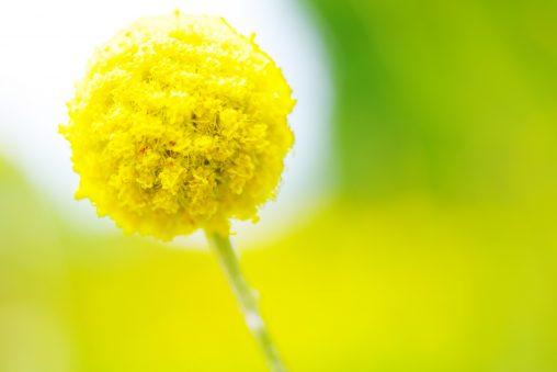 ピンポン菊 – Pom pom mum