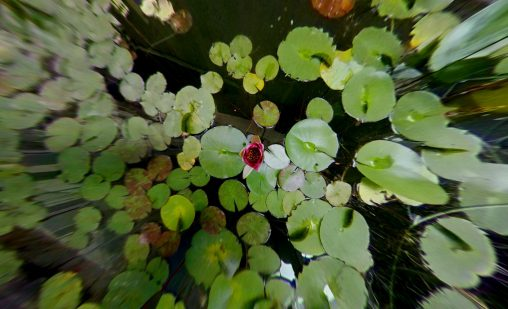 蓮 – Lotus