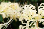 白花曼珠沙華 – Lycoris x albiflora Koidz.