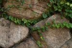 豊国神社の石垣と蔦 – Stonewall of Hokoku shrine