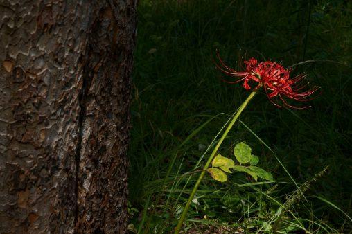 彼岸花一輪 – Lycoris radiata