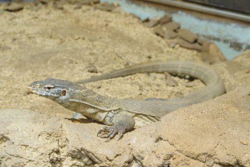 ナイルオオトカゲ – Nile monitor