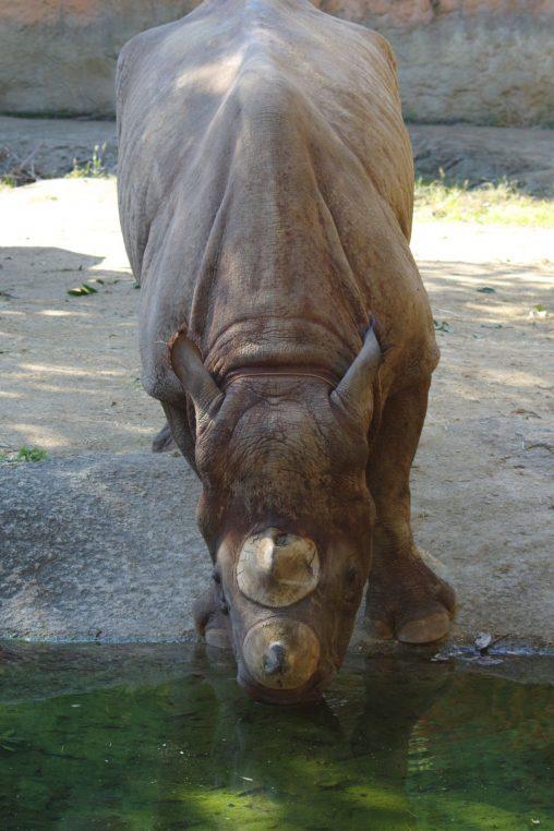 水飲むヒガシクロサイ – Black rhinoceros