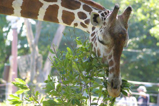 食べるアミメキリン – Reticulated giraffe