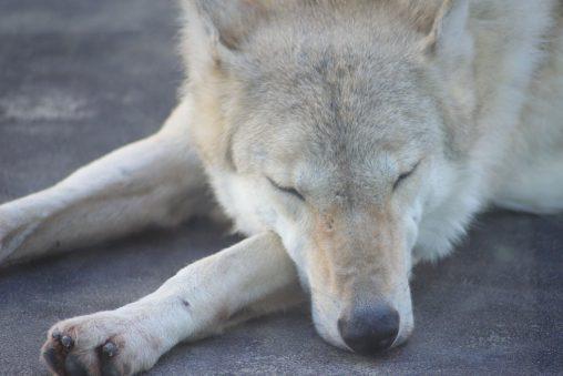 チュウゴクオオカミ – Chinese wolf