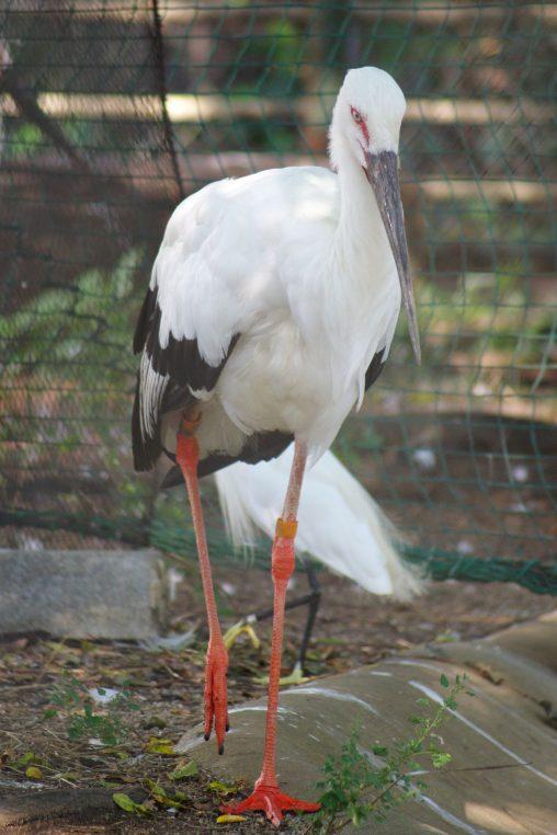 ニホンコウノトリ – Oriental stork