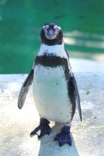 フンボルトペンギン – Humboldt penguin