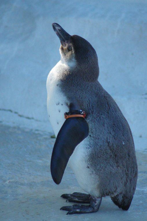 若いフンボルトペンギン – Young Humboldt penguin