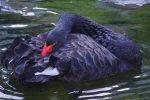 コクチョウ – Black swan