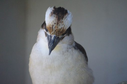 凄むワライカワセミ – Laughing kookaburra