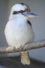 凄まないワライカワセミ – Laughing kookaburra