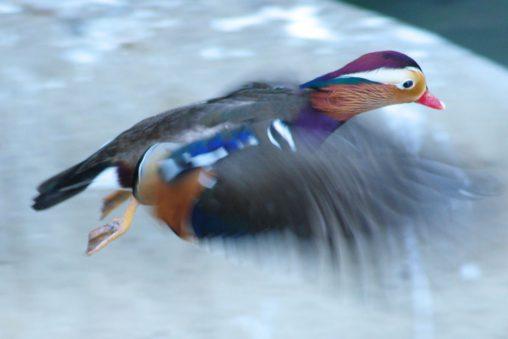 飛び立つオシドリ – Mandarin duck