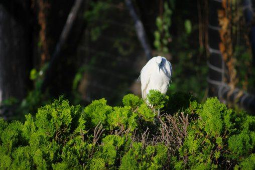 樹上のコサギ – Little egret