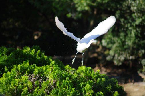 飛び立つコサギ – Little egret