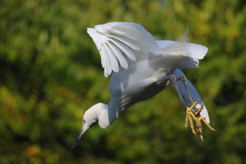 滑空するコサギ – Little egret