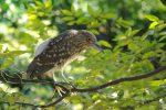 ホシゴイ(ゴイサギの幼鳥) – Young Night heron