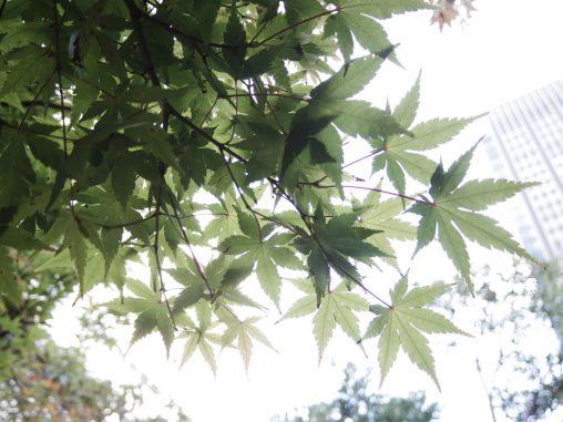 楓透かし – Green maple