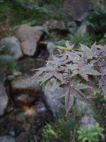 楓庭園 – Maple and garden