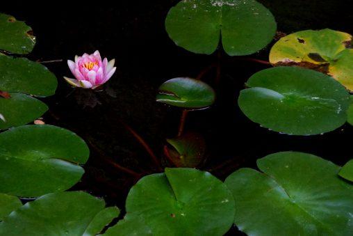 ハス – Lotus flower